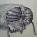 the head of a horsefly